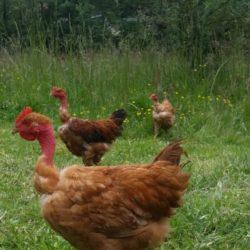 Poulets de ferme élevés en plein air