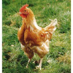 Poulets Fermiers