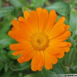 GRAINES DE SOUCIS OFFICINAL (calendula officinalis)