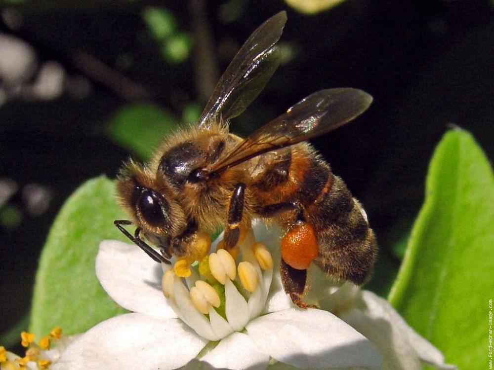 abeillepollen