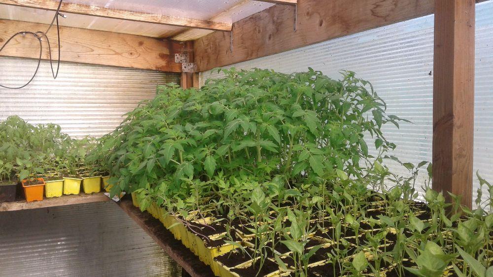 Plants de légume a repiquer