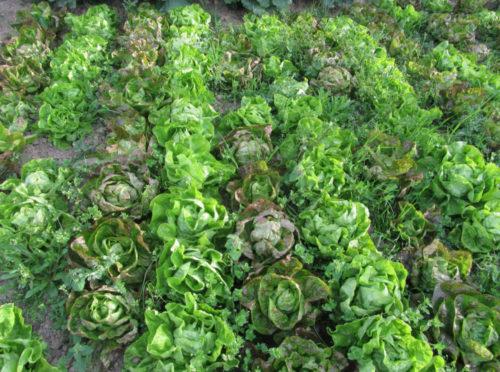 Salades naturelles