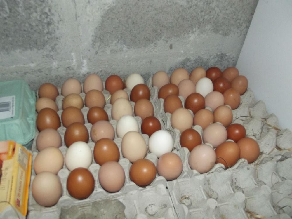 oeufs de poules à manger ou à couver