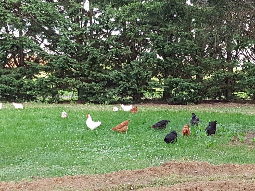Oeufs poules et canards élevés en plein air