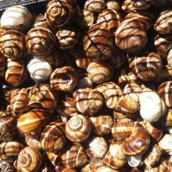 Escargot de bourgogne vivant