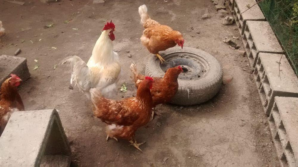 œufs de poules bio