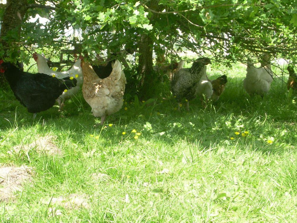 Oeufs de poules élevées en plein air