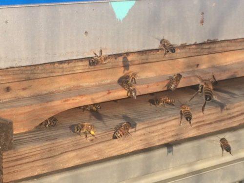 abeilles 2017