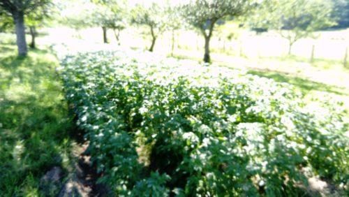 Pommes de terre ROSABELLE
