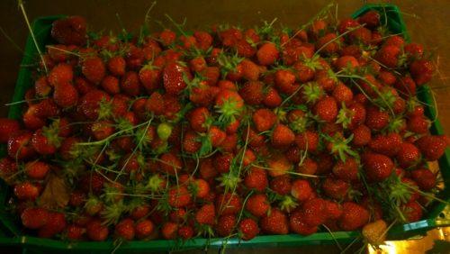 fraises 2017