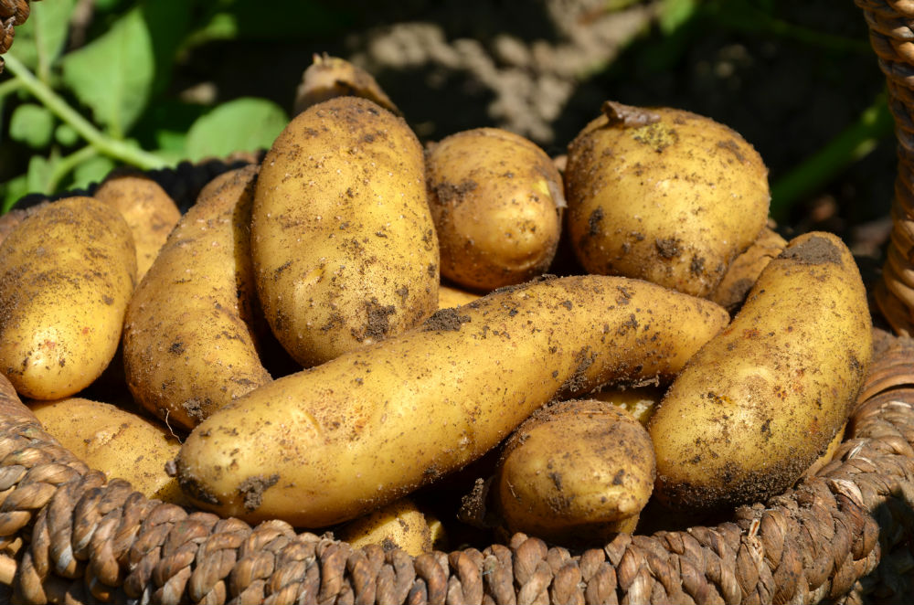 Pommes de terre Maonalisa du jardin