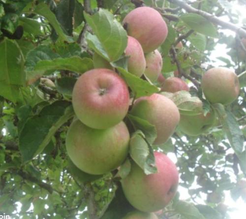 Pommes à cidre bio sans traitement