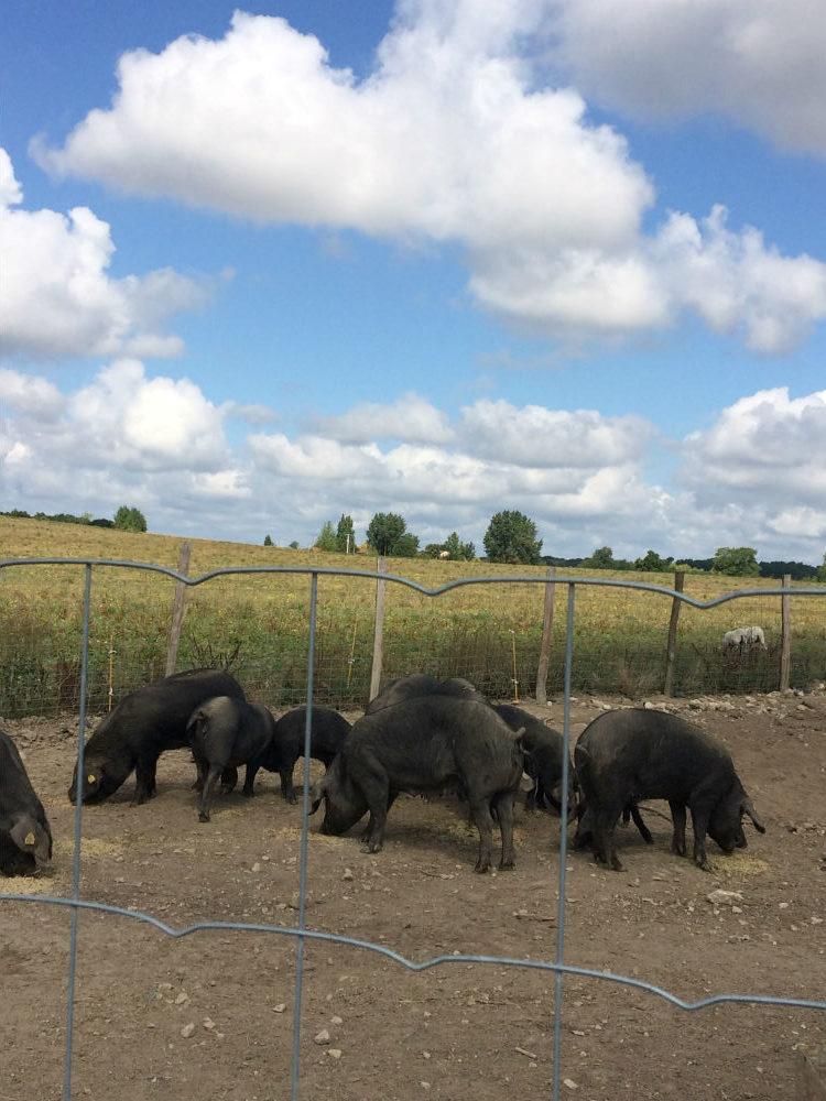 Véritable porc noir gascon bio