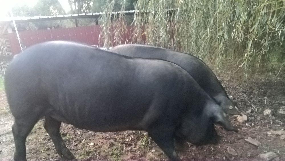 Porc noir plein air