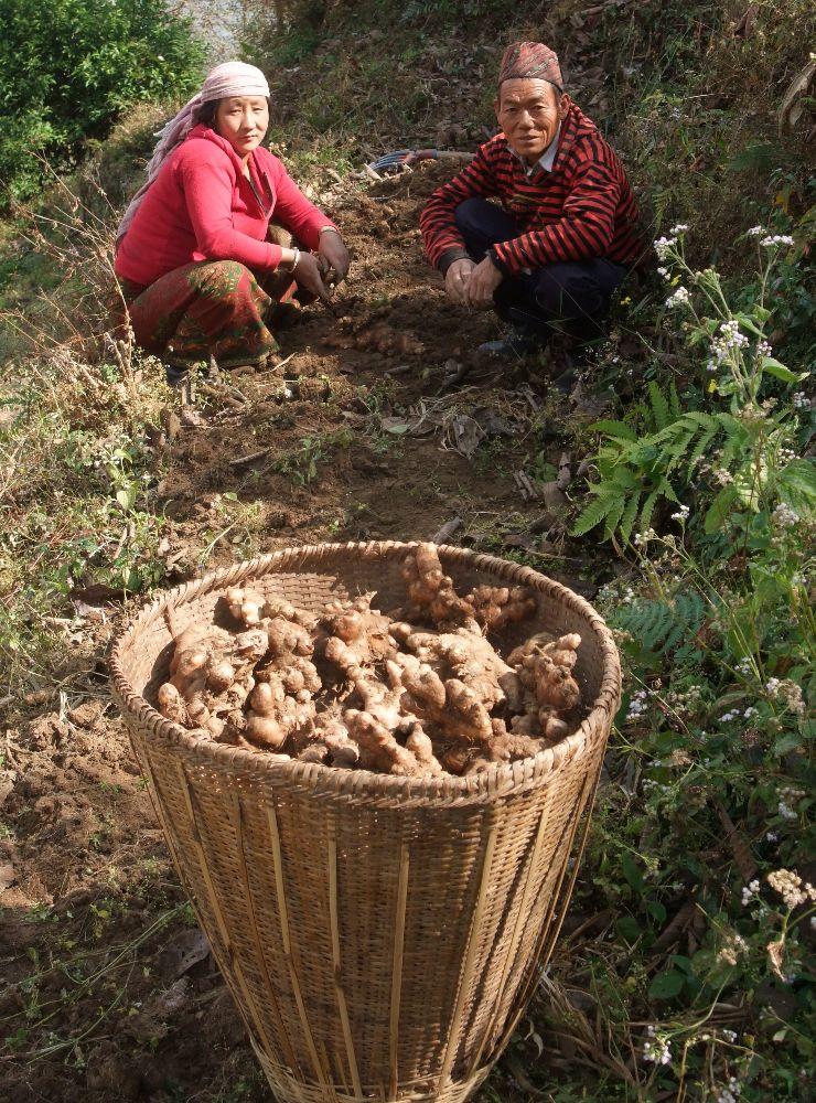 Gingembre en poudre de l'Himalaya 50 g- Récolte 04/17-Issu d'un projet solidaire