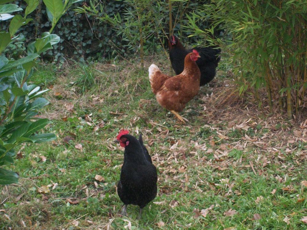 Oeufs de poules en plein air nourries bio