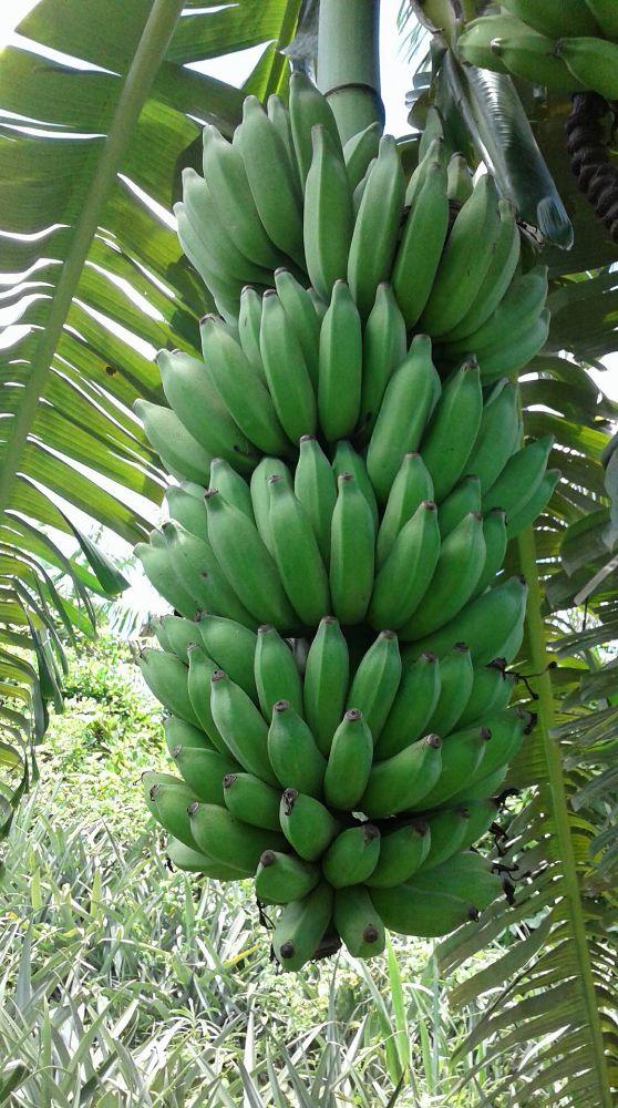 Banane blanc bio