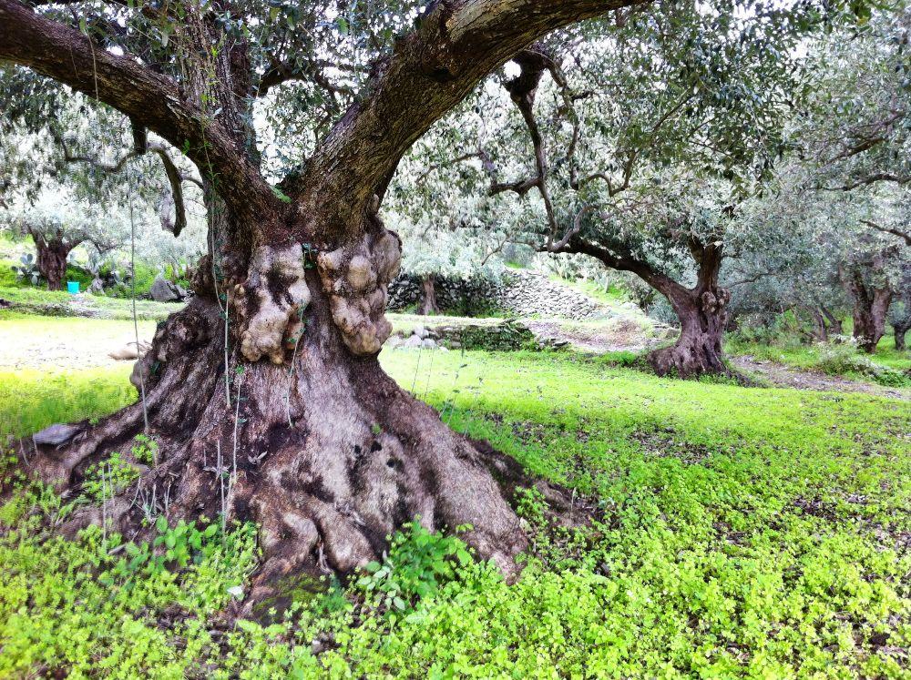 Huile d'olive de Sicile Vierge Extra 100% naturelle