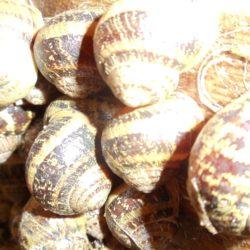 Escargots petits gris