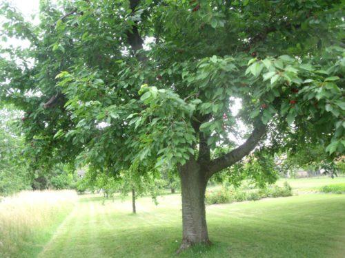 cerises arbres ab