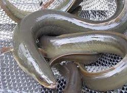 Anguille eau douce