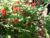 Barquette groseilles rouges bio