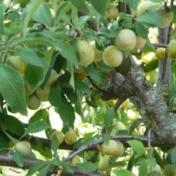 prunes Mirabelles de mon jardin