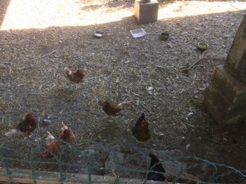 Œufs de poules
