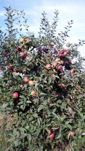 Troc de pommes variétés mélangées, non traitées