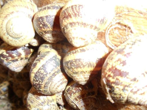 Escargots petits gris 8 euros les 100