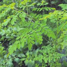 MORINGA PUREMENT NATUREL