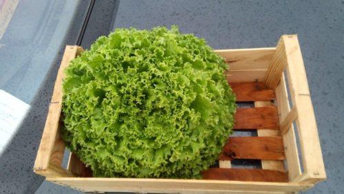 Salades façon permaculture