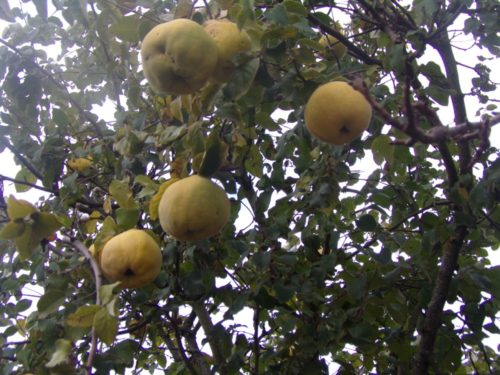 Pommes et coings
