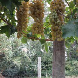 Raisins Blanc