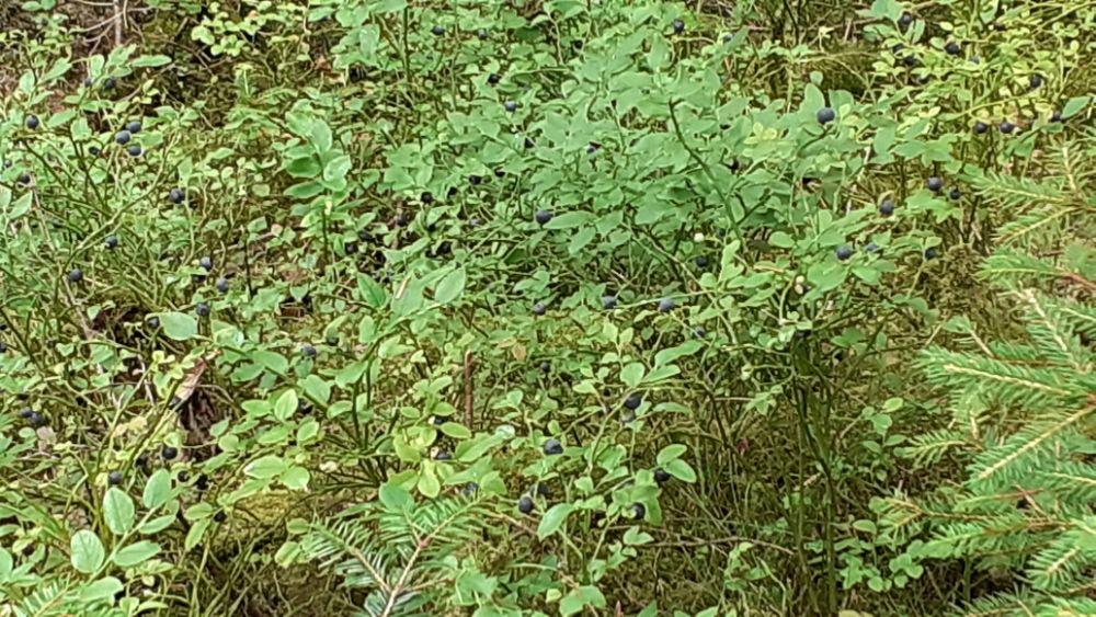 Myrtille sauvage de voges bio 100%