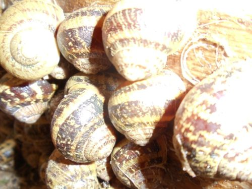 Escargots petits gis 8 euros les 100